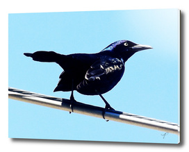 The Common Grackle