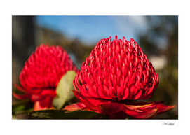 Huge red Waratah flowerheads in spring