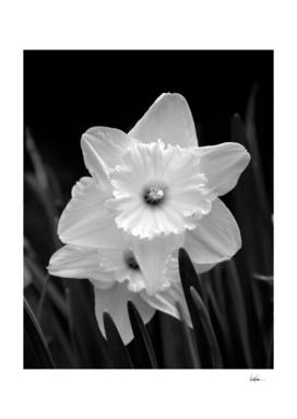 White Daffodil