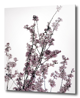 Dusted Pink Blossoms