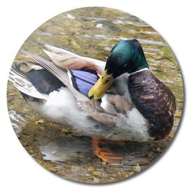 Duck Bath (1)