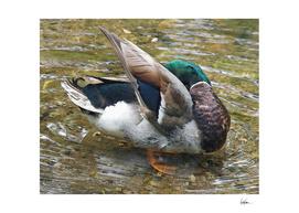 Duck Bath (2)
