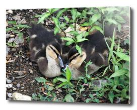 Love Ducklings