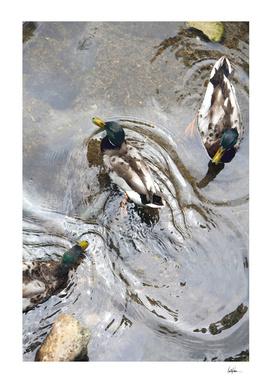 Three Mallard Ducks