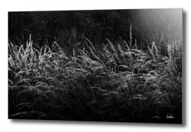 Grass at Sunset BW