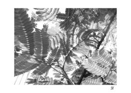 Mimosa Ferns 5 Grayscale