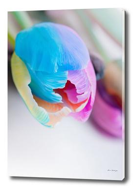 Vertical shoot of unusual multi colored tulip