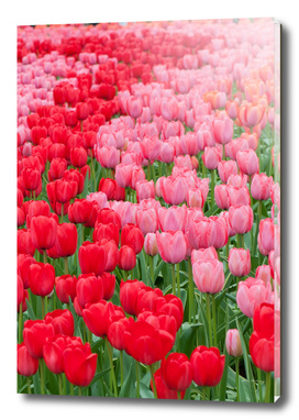 Flower beds of red and pink tulips