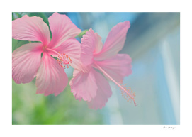 Tender macro shoot of pink hibiscus flowers