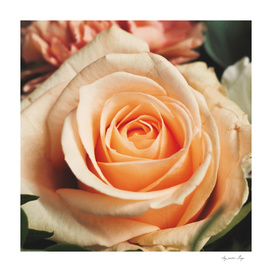 Romantic Rose Pink Rose