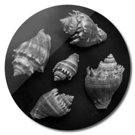 Seashell Study No.7