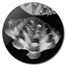 Seashell Study No.8