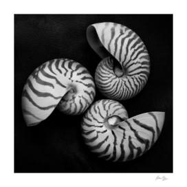Seashell Study No. 11