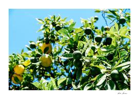 Green And Ripe Oranges In Orange Tree