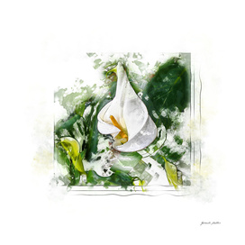 Calla Lily, Flower - Watercolor, Splash