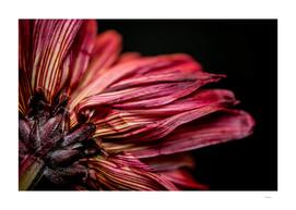 Chrysanthemum #1