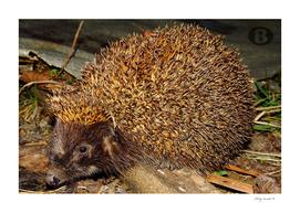 Hedgehog by Banstolac - 2007_0220Fuji0062