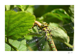 Dragonfly close-up