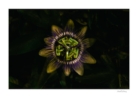 Passion at Night passiflora passion flower