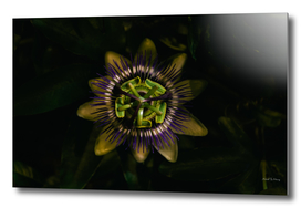 Passion at Night passiflora passion flower