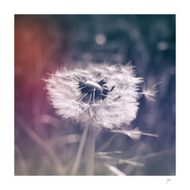 photography dandelion