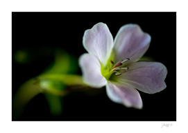 Woodland Geranium (Geranium sylvaticum) Close