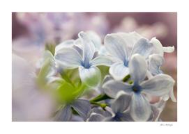Macro shot of lilac flower