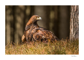 Grounded Eagle