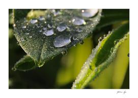 Morning dew 2