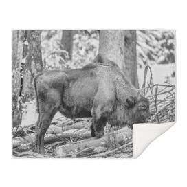 Eurasian Bison (Black & White Edition)