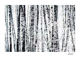 Birch Trees In Winter