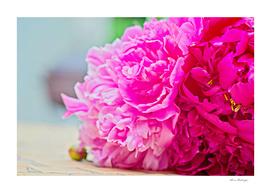 Pink peony beauty