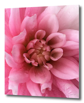 Pink Mountain Flower