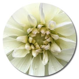 White Mountain Flower