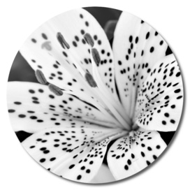Lily Close-up In Black And White