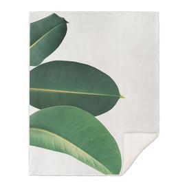 Rubber Fig Leaves II