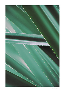 Cactus Agave