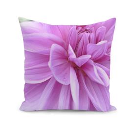 Pink Dhalia Flower