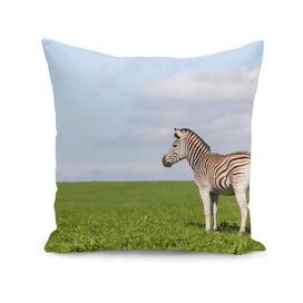Zebra Summer Plateau