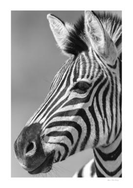 Zebra Head Black White