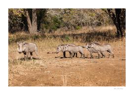 Wildlife Warthogs Litter