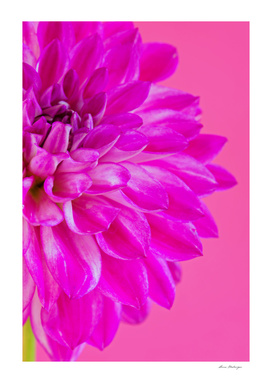 Macro image of the flower dahlia on pink background