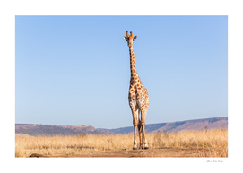 Giraffe Wildlife Blue