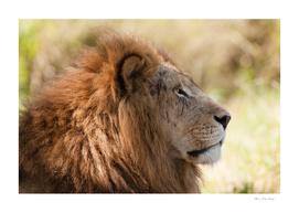 Lion Closeup Head Portrait