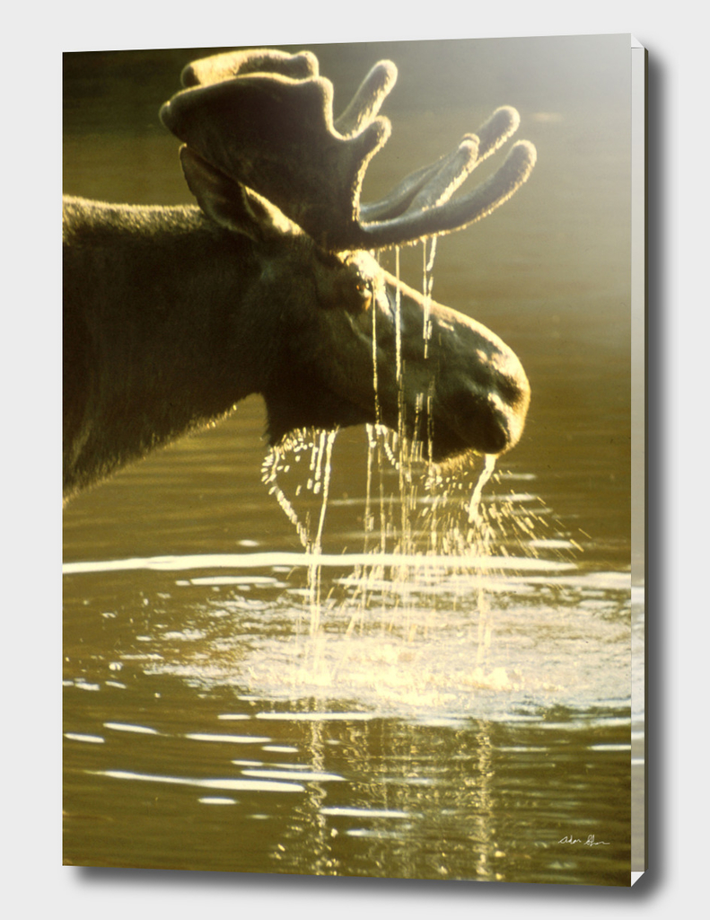 Moose Drinking Water Photograph