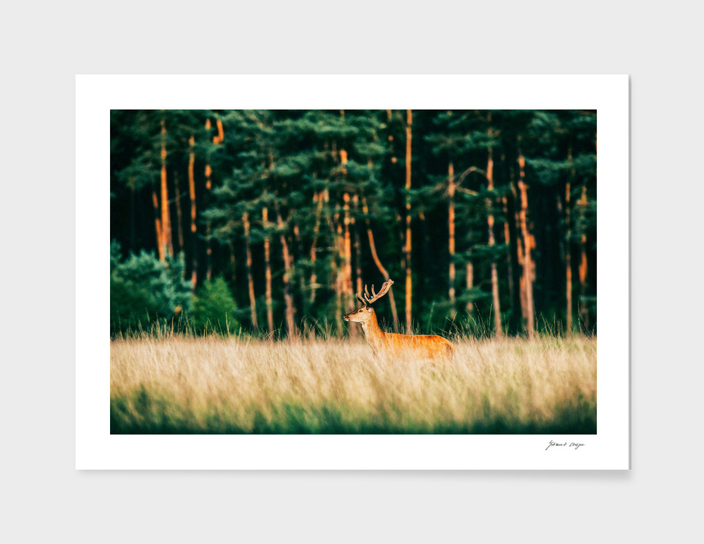 Red deer stag with velvet antlers in low sunlight
