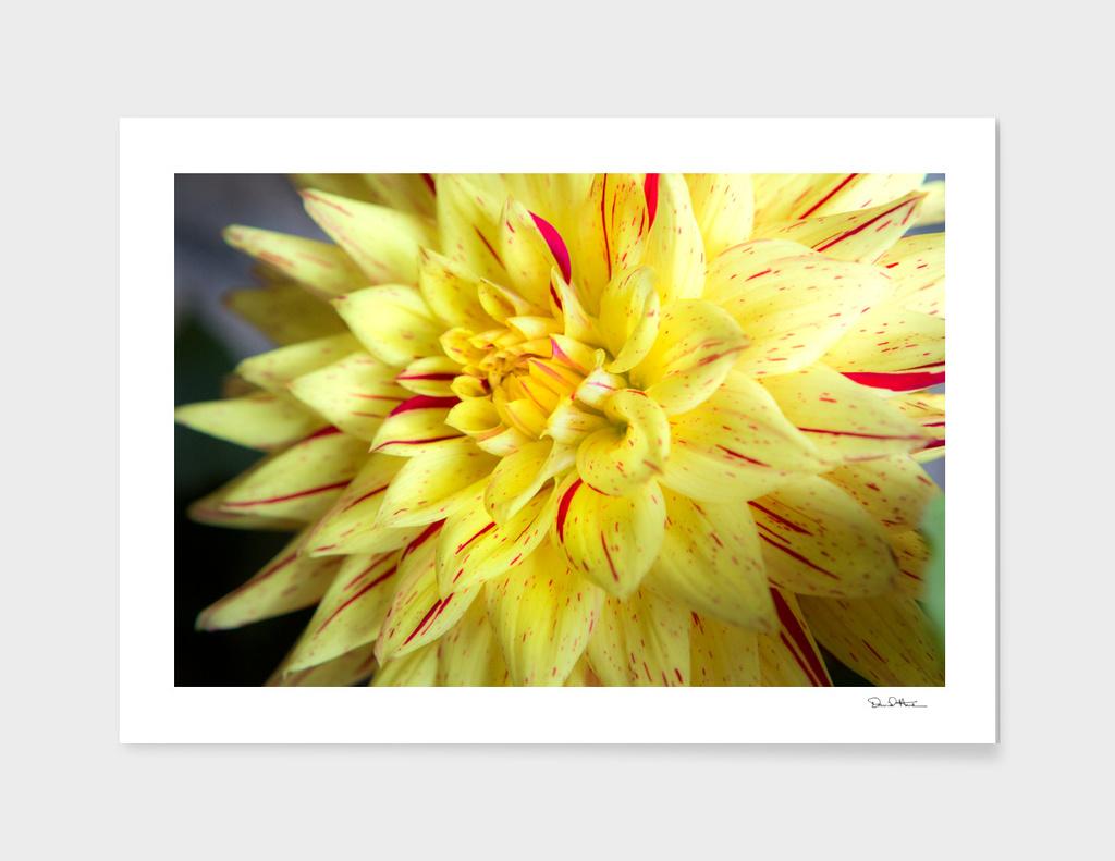 Yellow Bloom.