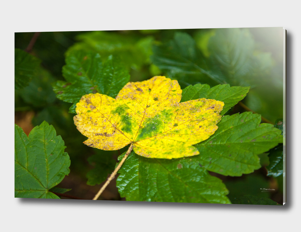 Colourfull autumnleaf