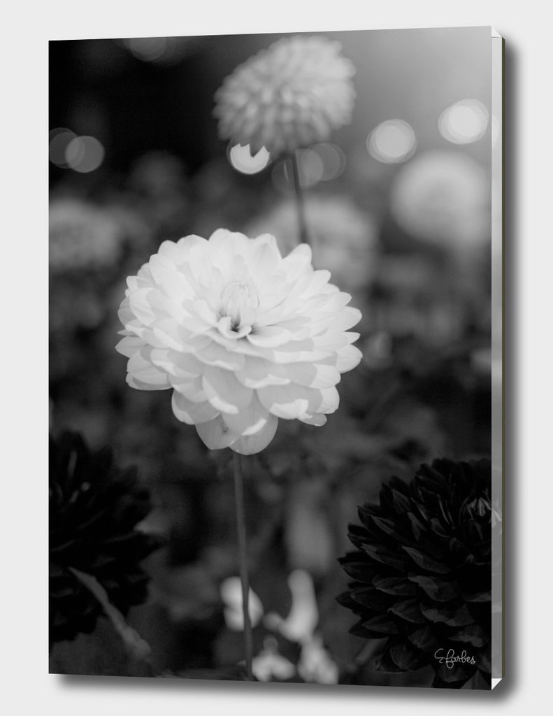 Dalhias in Black and White