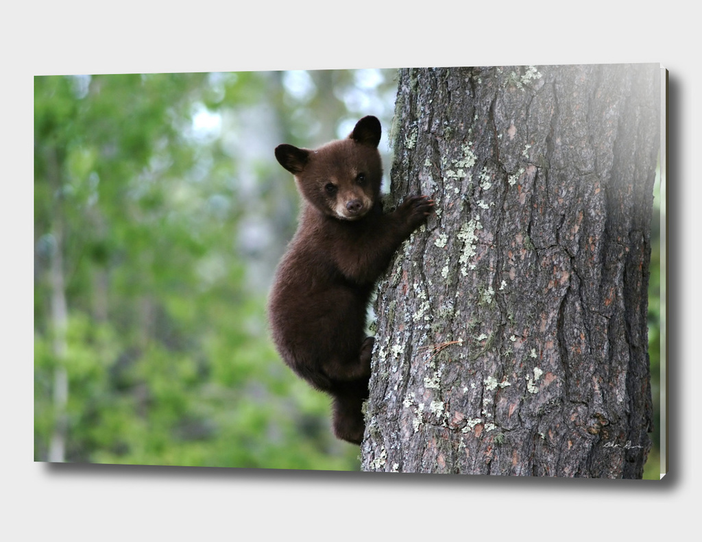 Black Bear Cub Climbing a Tree Photograph